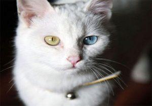 گربه های شهر وان